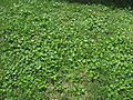 Modiola caroliniana plant7 (14650567685).jpg