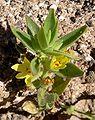Mohavea brevifolia 2.jpg