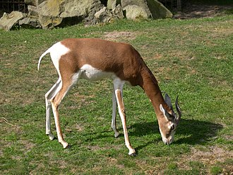Dama gazelle - Image: Mohrr gazelle