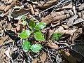 Moixeres de pastor (Sorbus torminalis) i esparraguera (Asparagus officinalis) acabats de néixer - Santa Perpètua de Gaià.jpg