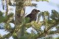 Molothrus ater (29601564858).jpg