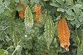 Momordica charantia - Bitter melon, Adana 2017-11-19 01-1.jpg