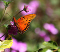 Monarch Butterfly (3386182212).jpg