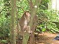 Monkey - കുരങ്ങൻ 01.JPG