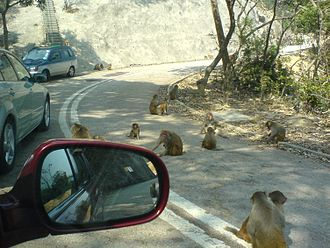 Conservation in Hong Kong - Monkeys in Golden Hill Country Park