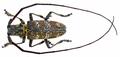 Monochamus galloprovincialis (Olivier, 1795) male (14020453599).png