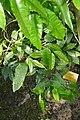 Monodora myristica-Jardin botanique Meise (1).jpg
