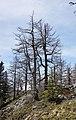 Mont Chetif - trees.jpg