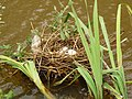 Moorhen Nest 01-07-10 (4753032562).jpg