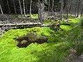 Mossy bog in Harwood Forest - geograph.org.uk - 1412770.jpg