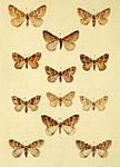 Moths of the British Isles Series2 Plate077.jpg