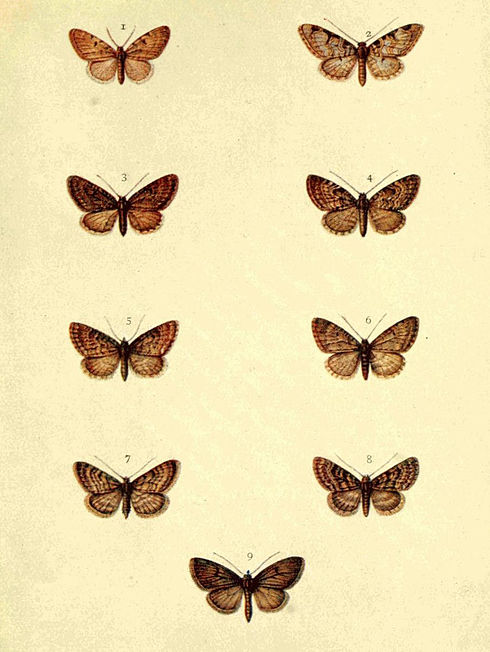 Moths of the British Isles Series2 Plate096.jpg