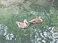 Mottled Duck pair.jpg