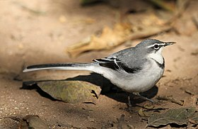 Mountain wagtail (or Long-tailed Wagtail), Motacilla clara at Lekgalameetse Nature Reserve, Limpopo, South Africa (14766222701).jpg