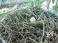 Mourning Dove Egg.JPG
