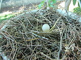 Single white egg in a nest of twigs