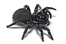 Mouse spider02.jpg
