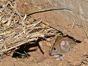 Field mouse of the subgenus Mus.