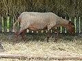 Mouton solognot (3).JPG