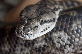 Morelia spilota metcalfei - Image: Murray darling carpet python, head and pattern