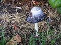 Mushroom at Lossiemouth - geograph.org.uk - 978840.jpg