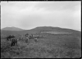 Mustering and drafting sheep at the Mendip Hills sheep run. ATLIB 287974.png