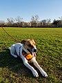 My English Pointer Dog.jpg