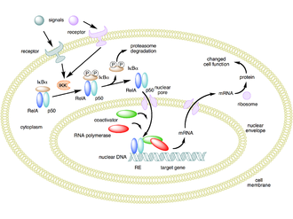 NF-κB - Image: NFKB mechanism of action