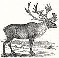 NSRW Caribou.jpg