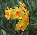 Narcissus 'Grand Soleil d'Or'.JPG