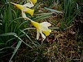 Narcissus pseudonarcissus (Ardennes) closeup.jpg