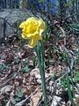 Narcissus pseudonarcissus - Narcisse jaune - Wild daffodil (5705281775).jpg