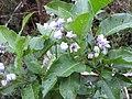 Natre - Solanum sp. 02.jpg
