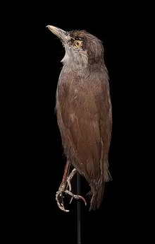 Файл: Центр биоразнообразия Naturalis - RMNH.AVES.89412 - Malacocincla perspicillata (Bonaparte, 1850) - Чернобровый баблер - образец - video.webm