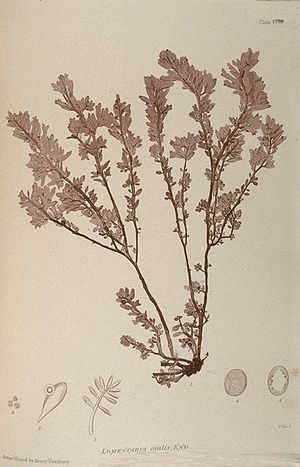 Nature printing - Plate from The Nature-printed British Seaweeds, (1859-60).