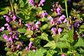 Naturschutzgebiet Am roten Steine - Violette Taubnessel (1).JPG