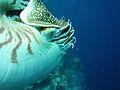 Nautilus eye, Palau.jpg