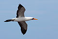 Nazca booby - Wikipedia - photo#17
