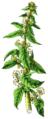 NdP Spinacia oleracea.png