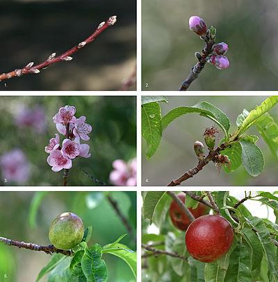 Lo sviluppo di una pesca (Prunus persica) da inizio inverno a metà estate in Victoria, Australia.