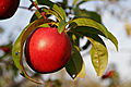 Nectarines early morning02.jpg