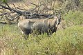 Neelgai Boselaphus tragocamelus by Dr. Raju Kasambe DSCN7671 (4).jpg