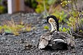 Nene - hawaiian goose (4081066617).jpg