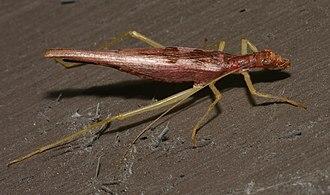 Tree cricket - Neoxabea bipunctata