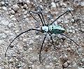 Nephila sp araignées (Araneae - nephilidae) orbe-tisserands d'or du Laos (2).jpg