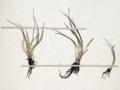 Neuchâtel Herbarium - Isoetes echinospora - NEU000020012 (cropped, false-color).png