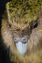 New Zealand Kakapo Felix.jpg