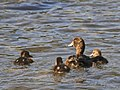 New Zealand Scaup (female) with chicks 5.jpg