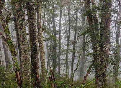 New Zealand bush during the rain, Mt Oxford area, Canterbury, New Zealand