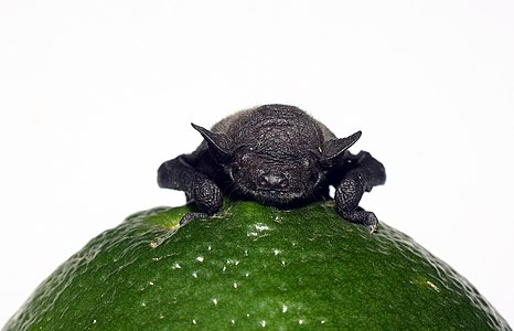 Newborn bat on a citrus fruit